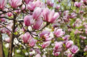 magnolia-blooms-2